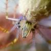 Heteropoda pingtungensis (?) - ultimo messaggio di Dave Peucetia